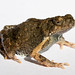 Guayaquil Dwarf Frog - Photo (c) Brian Gratwicke, some rights reserved (CC BY)