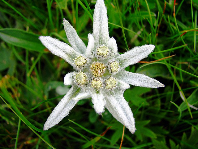 Stella Alpina (Edelweiss) – Il fiore (anche se non è l'infiorescenza) delle Alpi