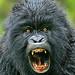 Mountain Gorillas by wildmanrouse