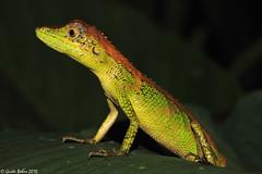 Agamidae in W-Javan rainforest