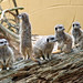 Small photo of Compare the Meerkats!