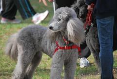 miniature poodle, standard poodle, dog breed, animal, dog, pet, mammal, poodle,