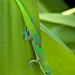 Gold Dust Day Gecko - Photo (c) Natalie Metzger, some rights reserved (CC BY-NC-SA)