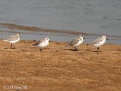 european herring gull(0.0), gull(0.0), lark(0.0), animal(1.0), charadriiformes(1.0), wing(1.0), fauna(1.0), red backed sandpiper(1.0), calidrid(1.0), sandpiper(1.0), beak(1.0), bird(1.0), seabird(1.0), wildlife(1.0),