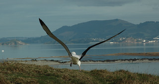 Albatross and harbour background