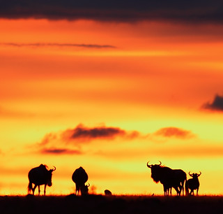 1398 Sunset Through The Wildebeest