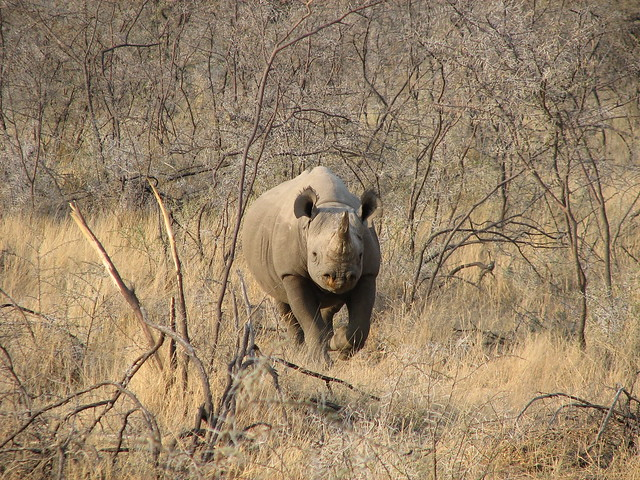 Rinoceronte negro en el Parque Nacional Etosha, Namibia