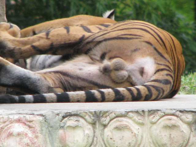 пенис тигра фото #11