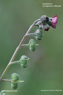 Houndstongue, Gypsyflower - Cynoglossum officinale