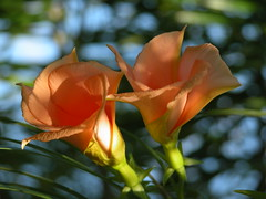 Yellow Oleander Lucky Nut 2 By 3point141