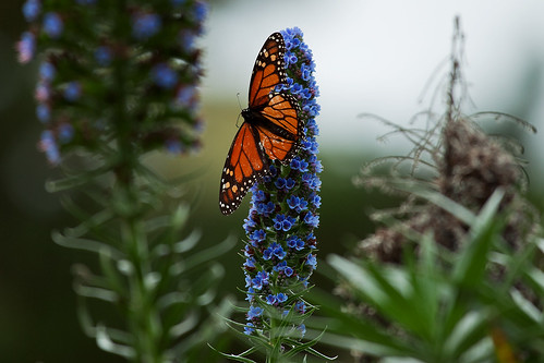 Pacific Grove monarch