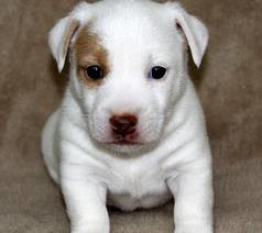 virginia beach boston terrier jack russell bichon frise dogs for sale ...