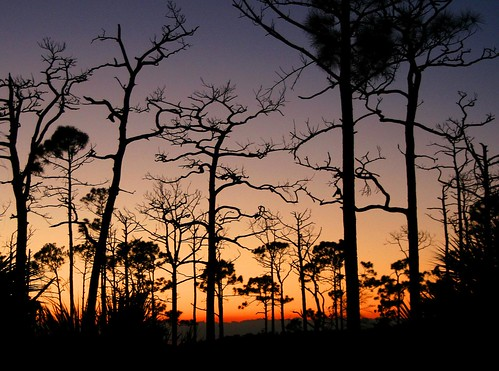 statepark trees light sunset sky tree nature silhouette pinetree pine florida slashpine flatwood jonathandickensonstatepark