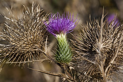 flower, thistle, plant, thorns, spines, and prickles, flora, artichoke thistle, close-up,