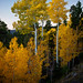 aspens - Boulder Mountain - 10-15-10  02