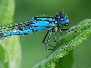 Common Blue Damselfly Male Clamerkin NT IOW