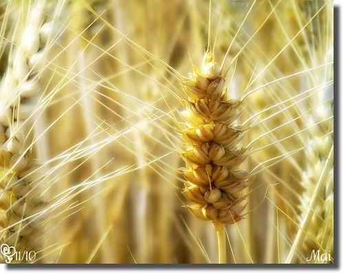 grain champ orge épis épi céréales maiptitfleur