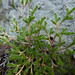 Bigelow's spike moss - Photo (c) randomtruth, some rights reserved (CC BY-NC-SA)