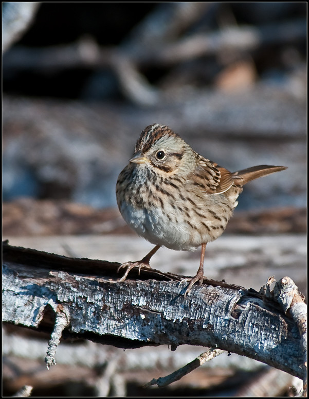 Lincoln's Sparrow  |  Rare, Accidental