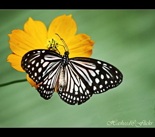 Love is like a butterfly: It goes where it pleases and it pleases wherever it goes.(Explored)