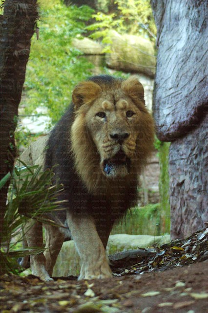 Panthera leo persica - photo#33