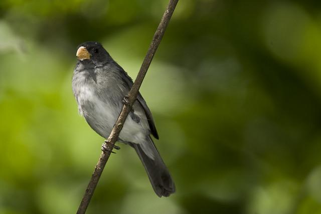Imagen de una de las aves del Quindio: Espiguero Pizarra (Sporophila Schistacea)