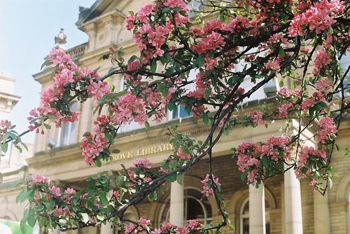 Bradford in blossom