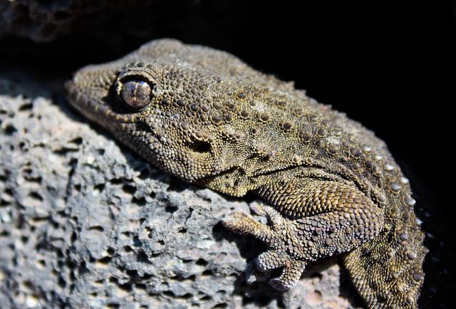 Perenquén común (Tarentola delalandii)