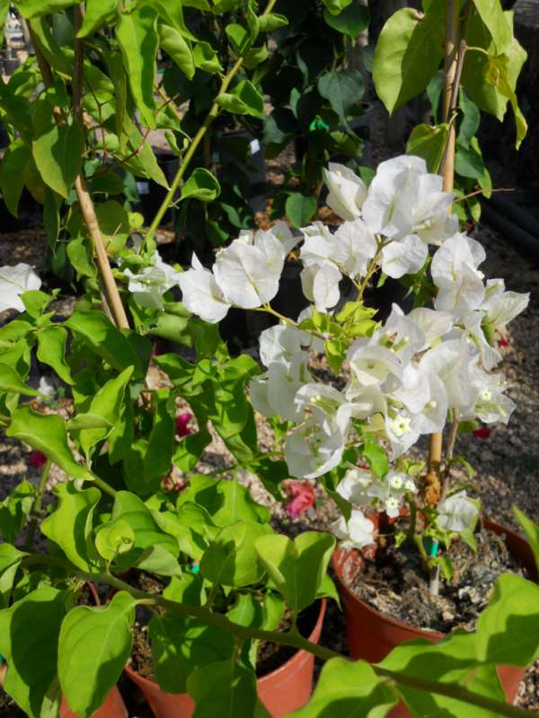 Bougainvillea hybrida 'Apple Blossom' v 1