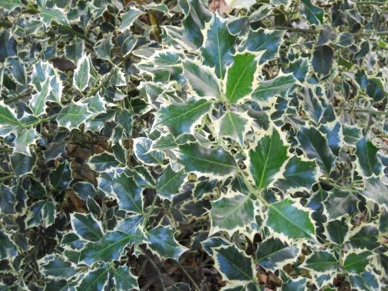 Ilex aquifolium 'Golden Queen' 2