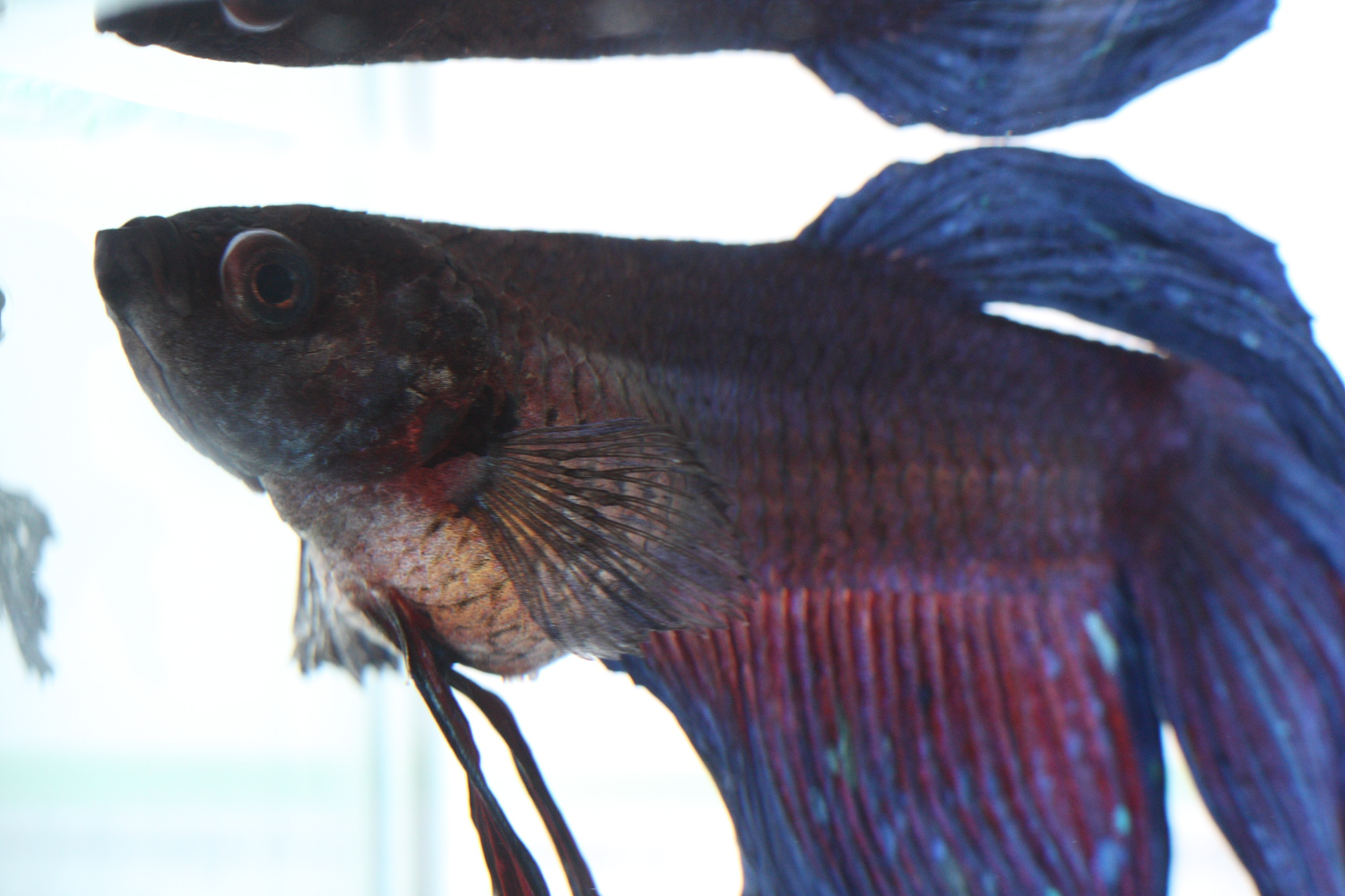 Pin dropsy in fish on pinterest for Bloated betta fish