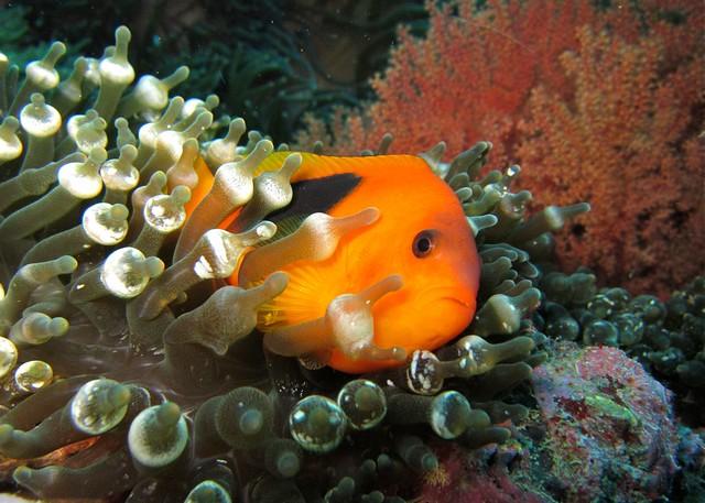 Tomato clownfish anemone - photo#24