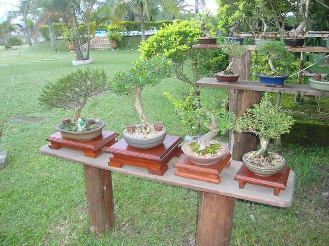 F rum do atelier do bonsai m rio a g leal exibir - Mesas para bonsai ...