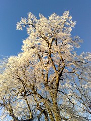 Frost covered tree in the morning