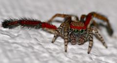 Jumping Spider (Saitis barbipes) male
