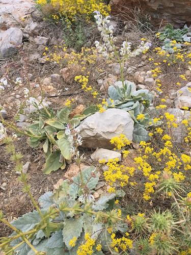 Salvia microstegia מרווה בוצינית + Alyssum baumgartnerianum אליסון חרמוני