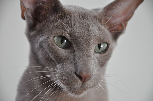 joris oriental shorthair cat 1