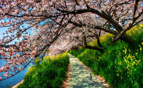 Cherry Blossom Tunnel