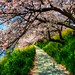 Cherry Blossom Tunnel by JapanDave