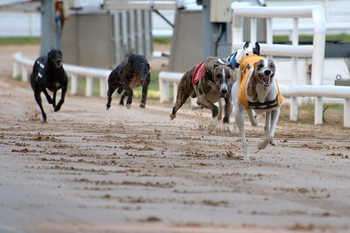 Greyhound race by FrededericLepied, on Flickr