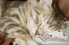 nose, animal, kitten, tabby cat, small to medium-sized cats, skin, sleep, pet, nap, mammal, american shorthair, close-up, cat, whiskers,
