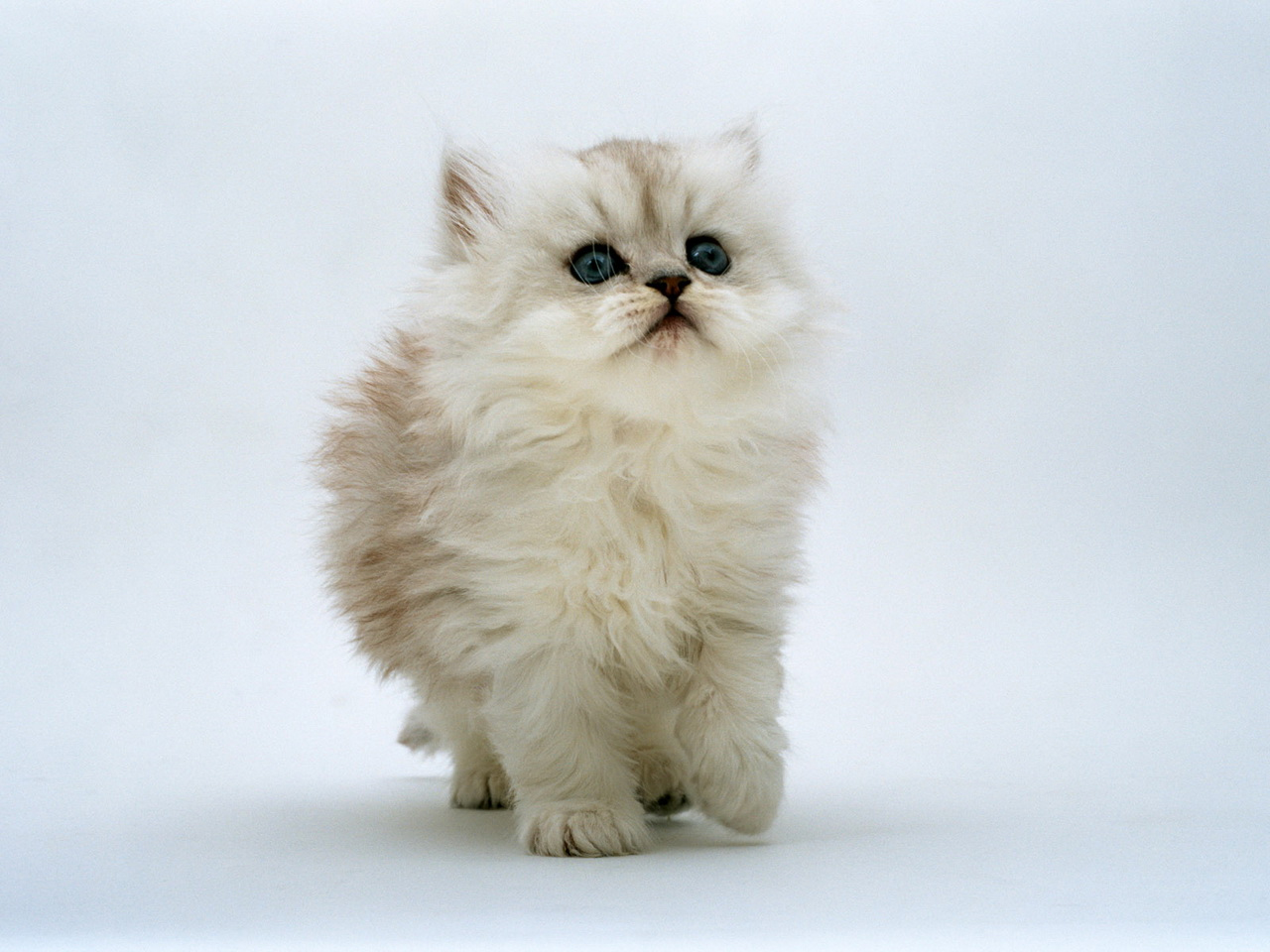 White Persian Cat Soft Toy
