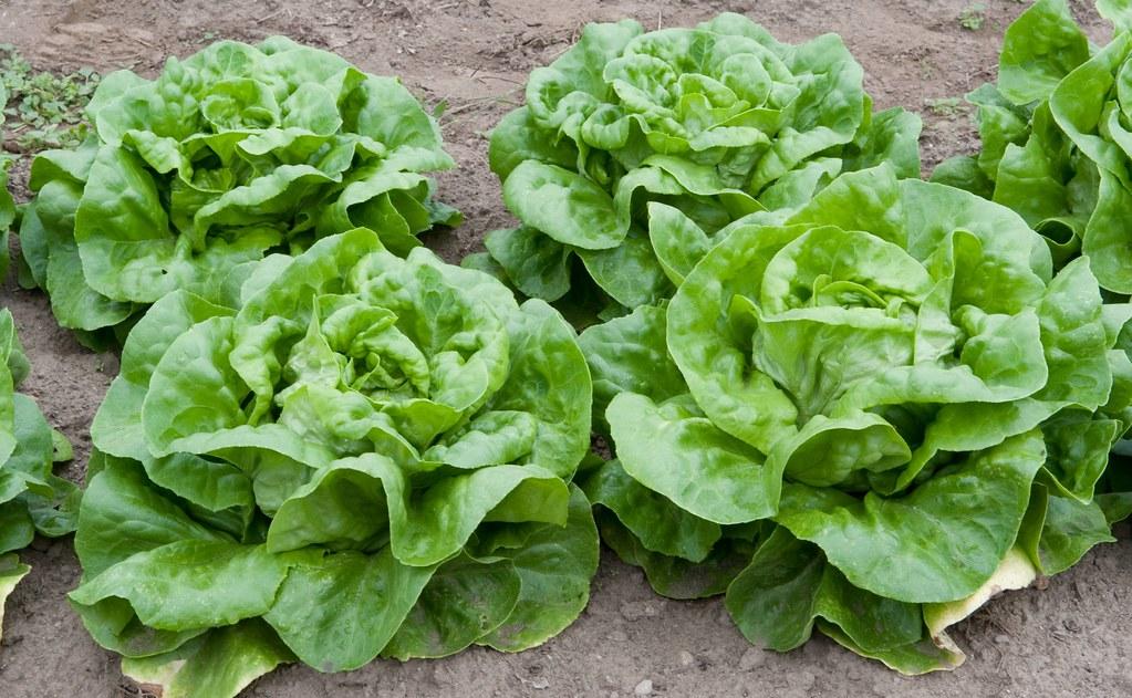 butterhead lettuce includes boston and bibb types, raw