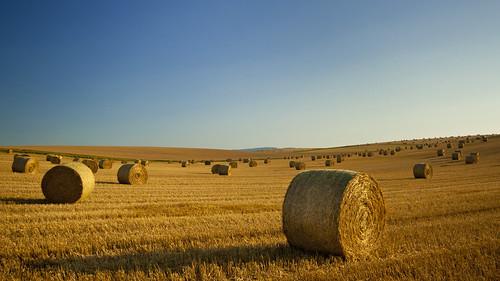 sunset plants field gold corn cornfield farm feld farmland crop bales acker kornfeld heuballen fieldofgold