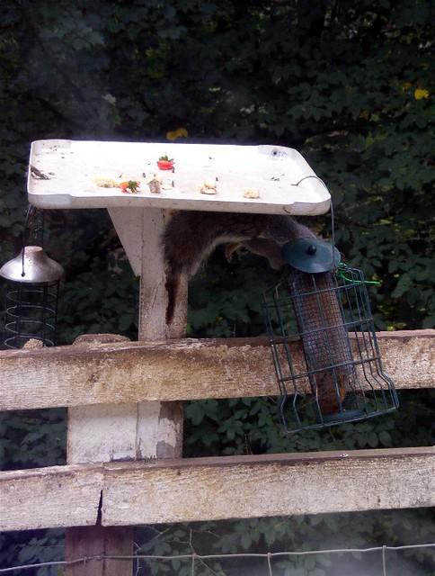 Hawes,  squirrel in feeder