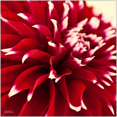 dahlia, flower, red, chrysanths, petal,
