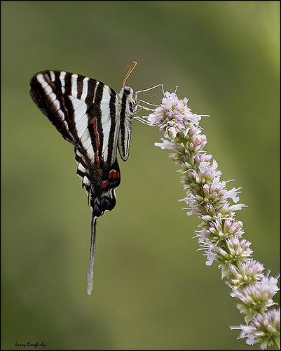 nature butterfly insect nikon searchthebest kentucky lepidoptera radcliffe zebraswallowtail d700 saundersspring