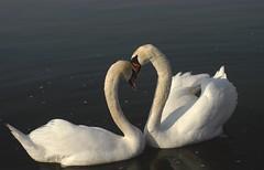 Swans love & tenderness