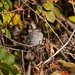 Grey Catbird Sleeping