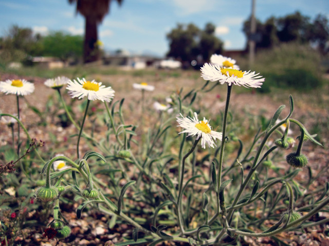 April 17, 2010: daisy weeds